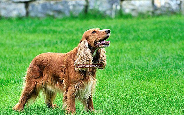 Quali sono i tratti del cane Cocker? Informazioni sul cucciolo di razza Cocker Spaniel inglese