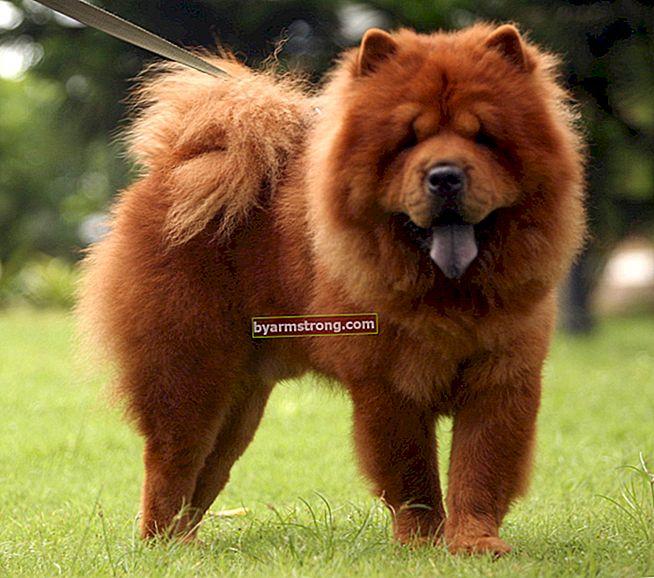 Quali sono i tratti del cane leone cinese? Informazioni sulla razza Puppies-Chow (Chow Chow)
