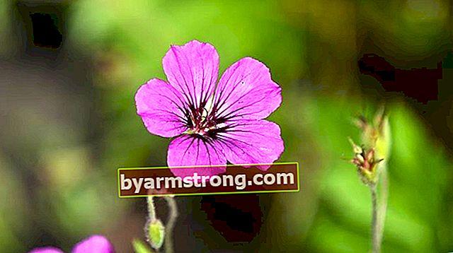 Fiore di geranio: quali sono il suo significato, proprietà e vantaggi? Come mantenere?