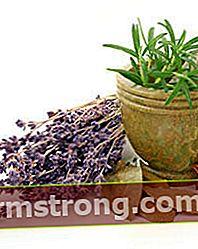 Lavender adalah ubat mujarab!