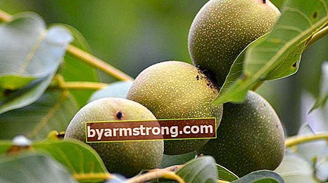 Quali sono le proprietà dell'albero di noce, come viene coltivato?