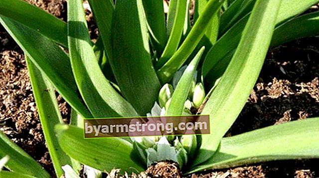 Quali sono i vantaggi dell'erba di glicine? Dove viene usata l'erba di glicine?