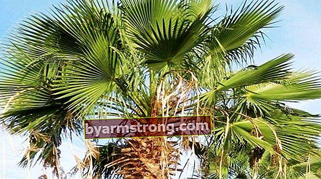 Quali sono le proprietà della palma, come viene coltivata?