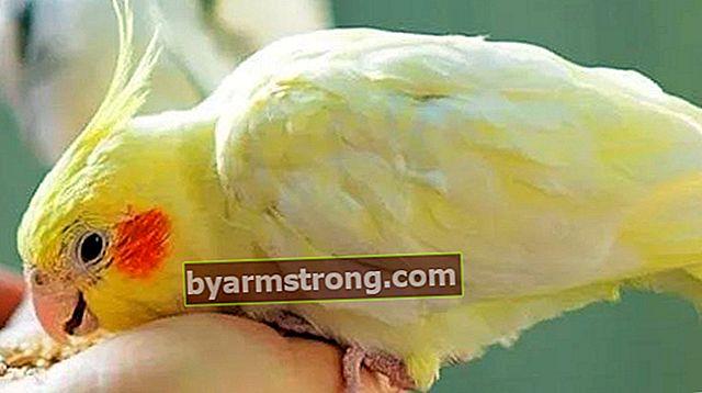 Apa yang Dimakan Sultan Parrot, Bagaimana Cara Makannya? Makanan Apa Yang Disukai Burung Beo Sultan?