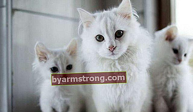Apa saja Karakteristik Kucing Angora? Bagaimana Cara Merawat Anak Kucing Angora Putih?