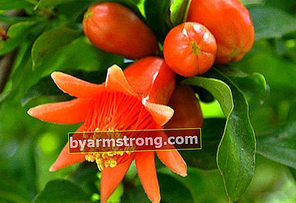 Quali sono i benefici dell'olio di fiori di melograno?
