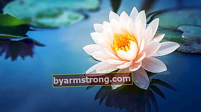 Fiore di loto: quali sono il suo significato, proprietà e vantaggi? Come mantenere?