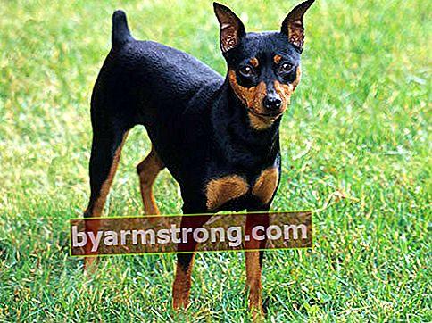 Quali sono i tratti del cane Pincher? Informazioni sulla razza Puppy Miniature Pinscher (M, n Pin)