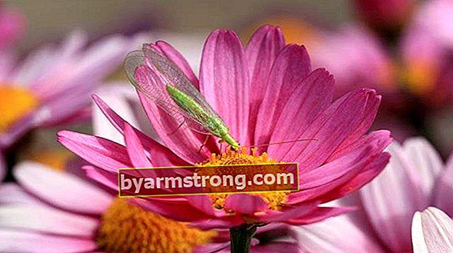 Fiore di crisantemo: quali sono il suo significato, proprietà e vantaggi? Come mantenere?
