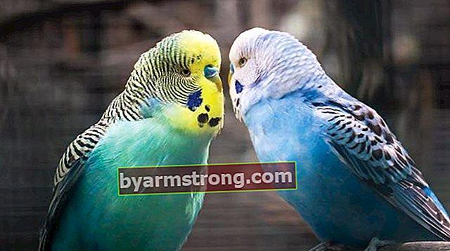 Pappagallino ondulato Cosa mangia, come mangia? Quali alimenti amano i pappagallini?