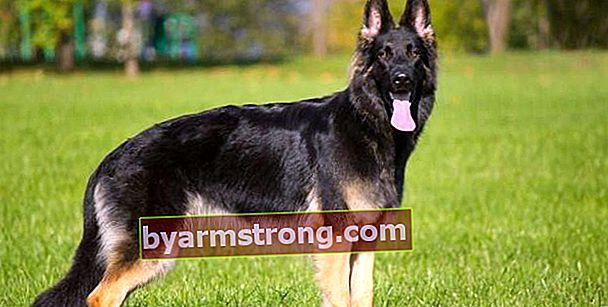 Quali sono i tratti del cane da pastore tedesco? Informazioni sulla razza di cani da pastore tedesco lupo