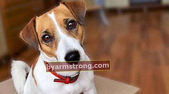 Quali sono i tratti del cane Jack Russell? Informazioni sulla razza cucciolo Jack Russell Terrier
