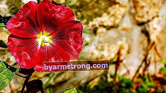 Fiore di peonia: quali sono il suo significato, proprietà e vantaggi? Come mantenere?