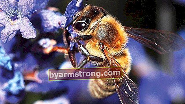 Fakta menakjubkan mengenai lebah yang tidak pernah anda ketahui