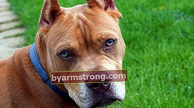 Quali sono i tratti del cane Pitbull? Informazioni sulla razza del cucciolo di American Pitbull Terrier