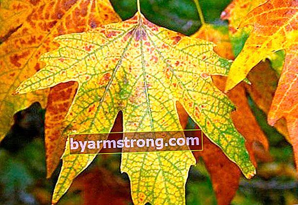 Cura delle foglie di sicomoro per la calcificazione
