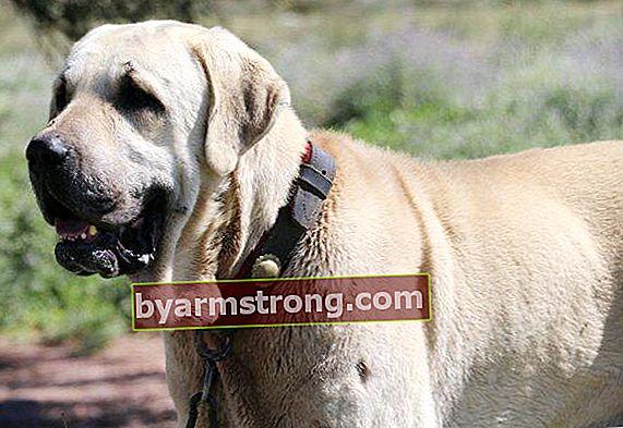 Quali sono i tratti del cane Aksaray Malaklı? Informazioni sul cucciolo Aksaray Malaklısı
