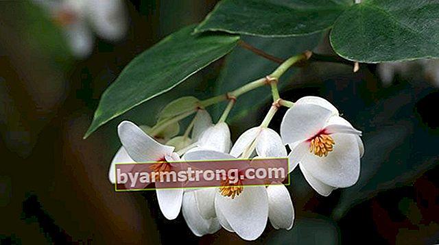 Fiore di begonia: quali sono il suo significato, proprietà e vantaggi? Come mantenere?