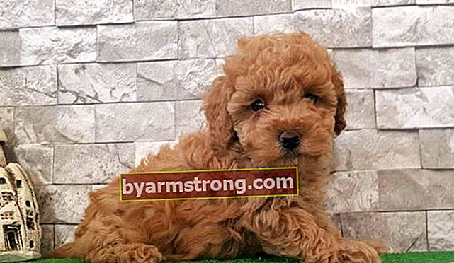 Apa Karakteristik Anjing Toy Poodle? Informasi Tentang Puppy Toy Poodle Breed