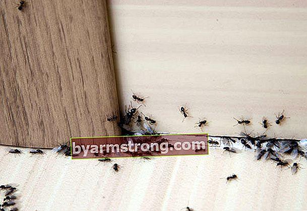Metode pengusir semut