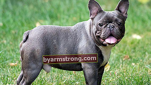 프렌치 불독 강아지의 특성은 무엇입니까? 아기 프렌치 불독 품종에 대한 정보
