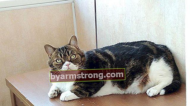 Apa Fitur Lurus Skotlandia? Bagaimana Cara Merawat Kitten Scottish Straight Cat?