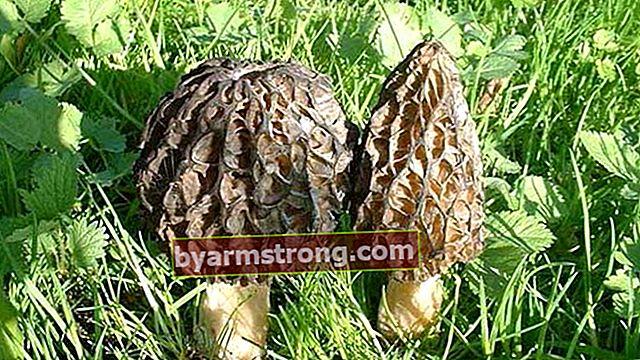 Quali sono i benefici dei funghi della pancia di agnello?