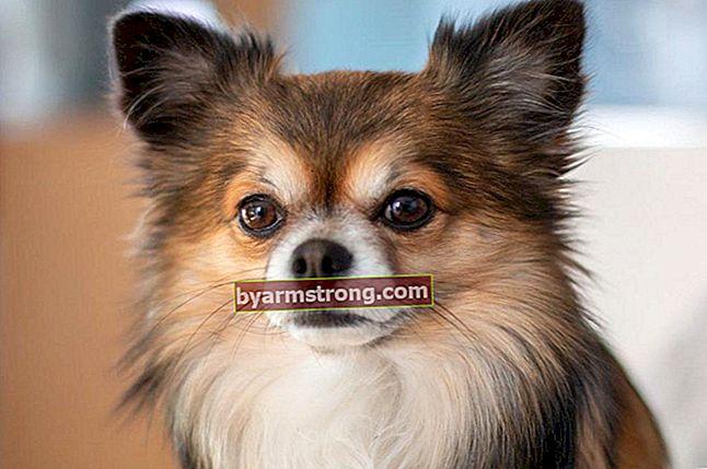 Quali sono i tratti del cane Chihuahua? Informazioni sul cucciolo di cane chihuahua