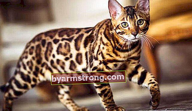 Apa Karakteristik Kucing Bengal? Bagaimana Cara Merawat Kucing Bengal Bermotif Macan Tutul?