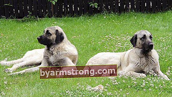 Quali sono le caratteristiche di un cane Sivas Kangalı? Informazioni sulla razza cucciolo Kangal