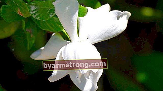 Fiore di Gardenia: quali sono il suo significato, proprietà e benefici? Come mantenere?