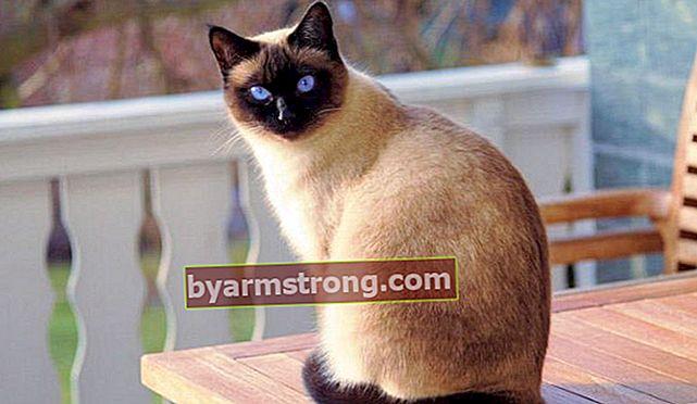 Quali sono le caratteristiche del gatto siamese? Come prendersi cura di un cucciolo di gatto thailandese?