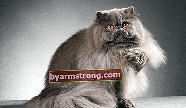 Apa Ciri-ciri Kucing Persia? Bagaimana Cara Merawat Kucing Persia?