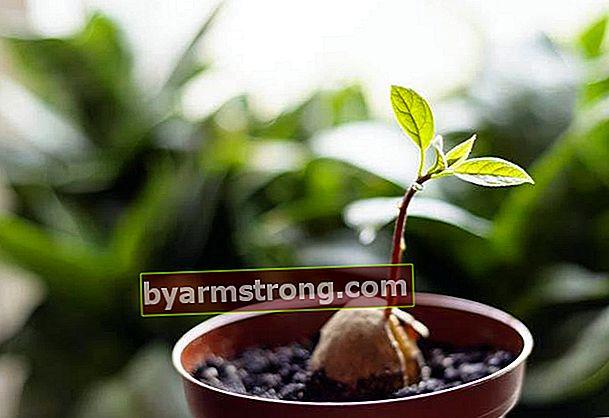 Come piantare gli avocado?