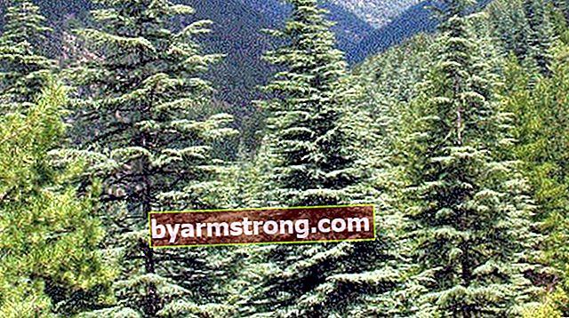 Quali sono le proprietà del pino, come viene coltivato?