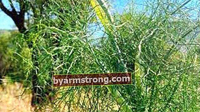 Quali sono i vantaggi di Tangle Herb? Dove viene utilizzata l'erba Tangle?
