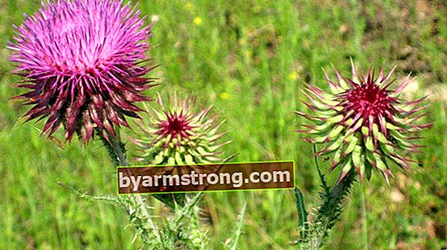 Quali sono i vantaggi di Kenger Herb? Dove viene utilizzata la pianta di erba di Kenger?