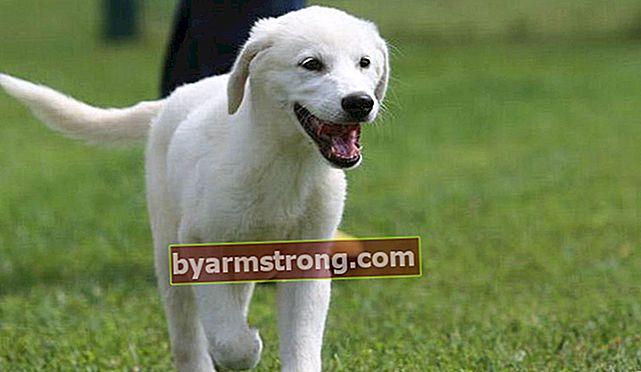 Apa Karakteristik Anjing Akbaş? Informasi Tentang Puppy Akbaş Shepherd Dog Breed