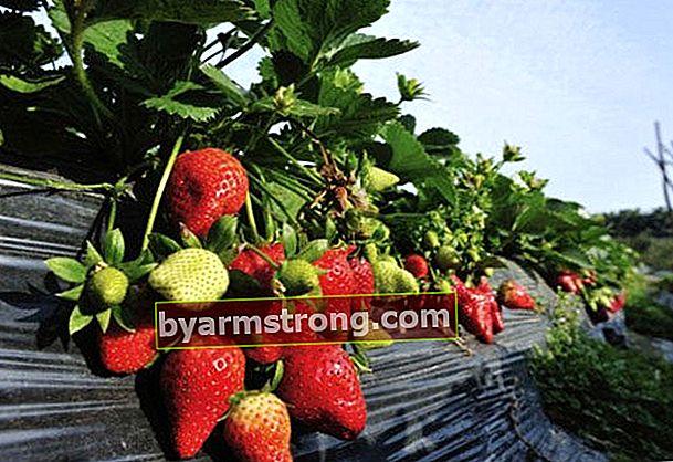 Come vengono coltivate le fragole?
