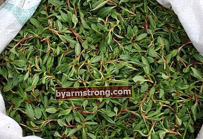Quali sono i vantaggi di Madımak Herb? Come cucinare l'erba Madimak?