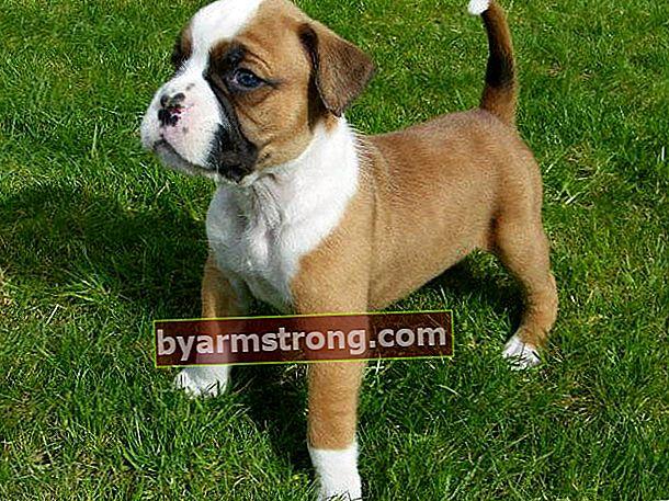 Quali sono i tratti del cane boxer? Informazioni sulla razza boxer cucciolo