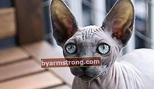 Quali sono le caratteristiche del gatto Sfinge? Come prendersi cura di Kitten Hairless Sphynx Corn Cat?