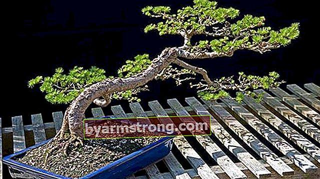 盆栽の木の特徴は何ですか?盆栽を育てるには?