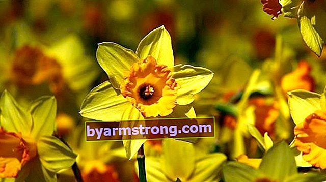 Fiore di narciso: quali sono il suo significato, proprietà e vantaggi? Come mantenere?