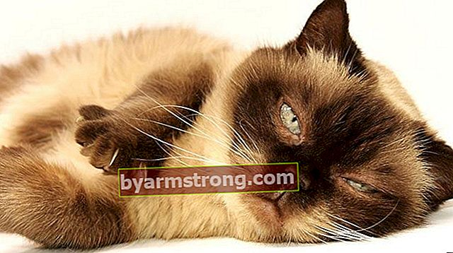 Apa saja Fitur British Shorthair? Bagaimana Cara Merawat Anak Kucing British Blue Point?