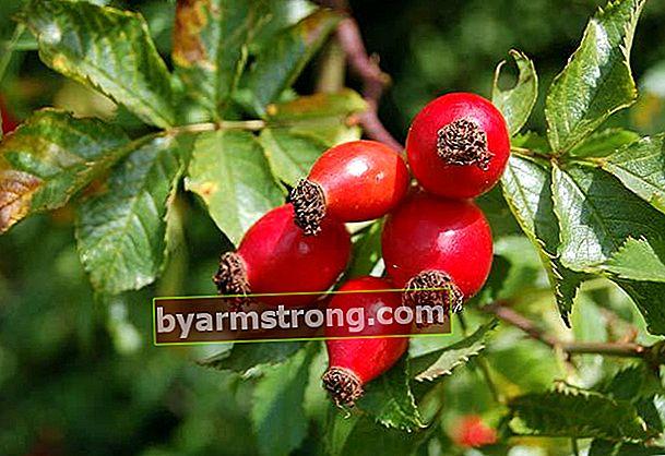 Manfaat rosehip