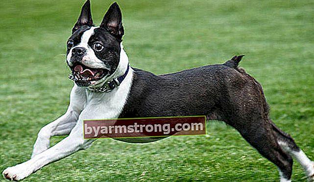 Apa ciri-ciri anjing Boston Terrier? Informasi tentang Puppy Boston Terrier Breed