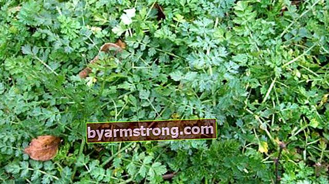 Quali sono i vantaggi di Crowbar Weed? Dove viene utilizzata la pianta del grano saraceno d'oca?