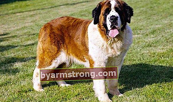Quali sono i tratti del cane San Bernardo? Informazioni sulla razza dei cuccioli di San Bernardo