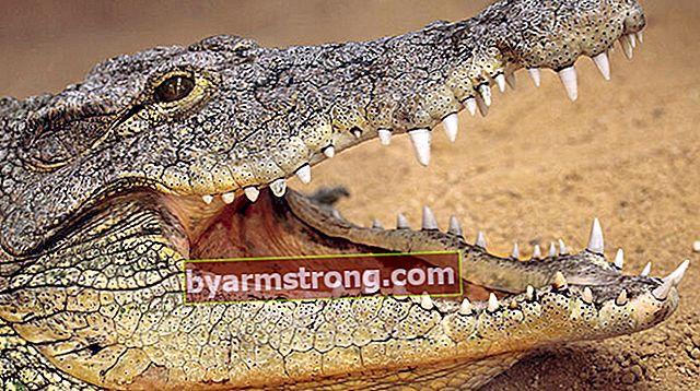 Cosa significa vedere un coccodrillo a Falda? Cosa significa quando una forma di coccodrillo appare nella tazza di caffè?